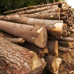 Energy Risk: Cutting Down Trees for Biofuels?