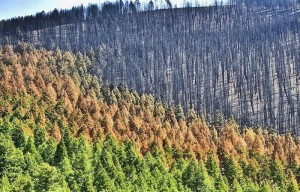 forest-after-fire-sun-valley-300x192